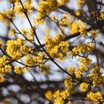 Foto van de gele kornoelje